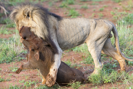 Old male lion drags a warthog from its burrow to eat Imagens - 84407733
