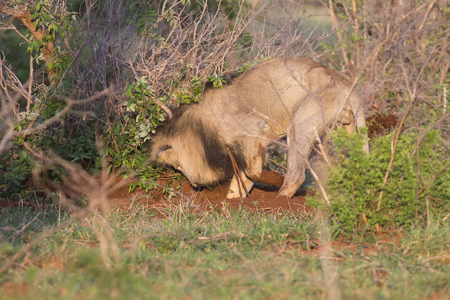 Old hungry lion male hunting for food in nature