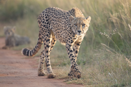 Female cheetah walking along a dirt road to her cub