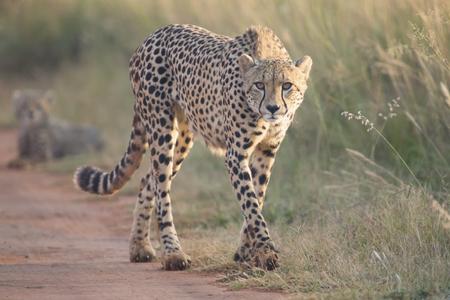 Vrouwelijke cheetah die langs een landweg aan haar welp loopt