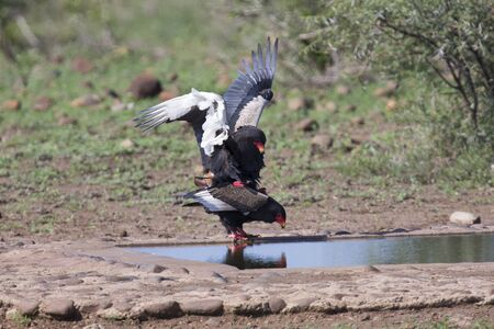 Pair of bateleur standing at a waterhole busy with mating