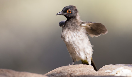 grey eyed: Red-eyed Bulbul sitting on a rock pond ready to fly