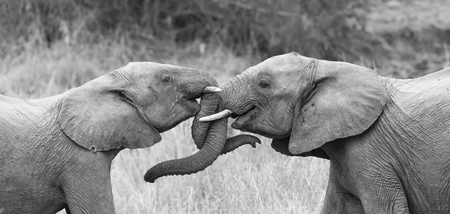 Two elephant greet affectionate with curling and touching trunks Stock Photo