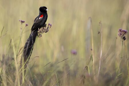 Long-tailed Widowbird sitting on a brush to rest after a display flight Stock Photo