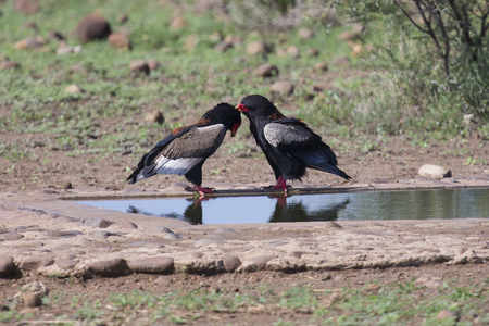 Pair of bateleur standing at a waterhole busy with courtship Stock Photo