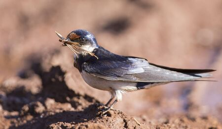 muddy: White-throated swallow sit at muddy water pool to get mud for its nest