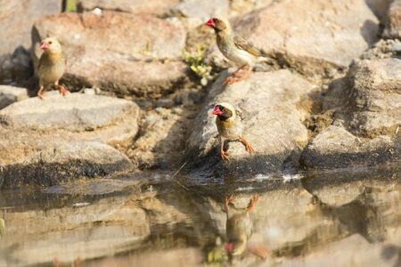 Flock of Red Billed Quelea sitting on a rock at a waterhole in the Kalahari Stock Photo
