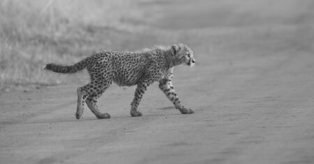 cheetah cub: One Cheetah cub playing alone in early morning in a road