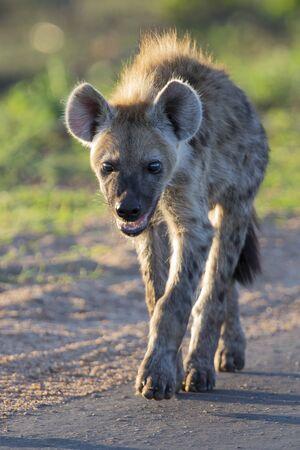 Lone hyena walking along a road in the early morning sun