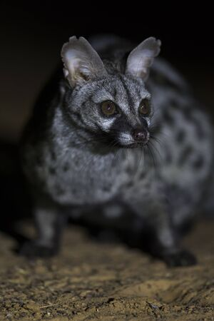 Close-up of a Genet photographed at night using a spotlight sitting