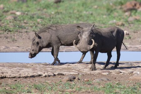 Two warthogs with big teeth drink from a waterhole