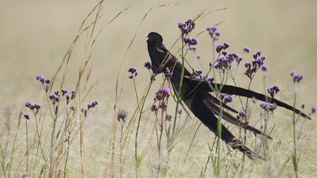 Long-tailed Widowbird sitting on flowers to rest after a display flight Stock Photo