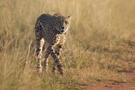 spotted fur: Female cheetah walking along a dirt road to her cub