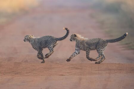 cheetah cub: Two Cheetah cubs playing early morning in a dirt road Stock Photo