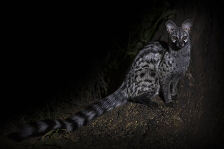 Genet photographed at night using a spotlight sitting and waiting