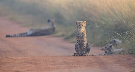 cheetah cub: Cheetah cubs playing with its mother in the background in artistic conversion Stock Photo
