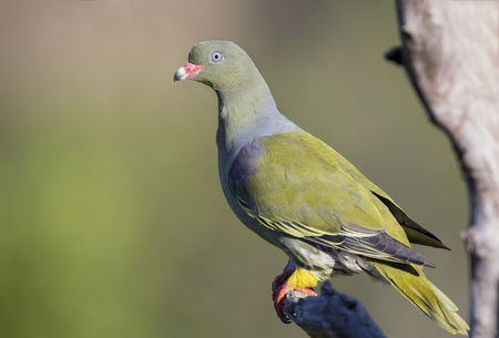 Beautiful green pigeon sitting on a dry branch in the sun