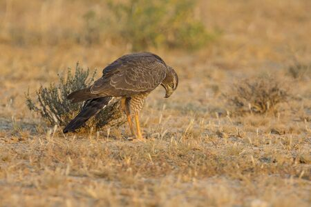 Female Pale Chanting Goshawk hunting for food on the ground in the Kalahari
