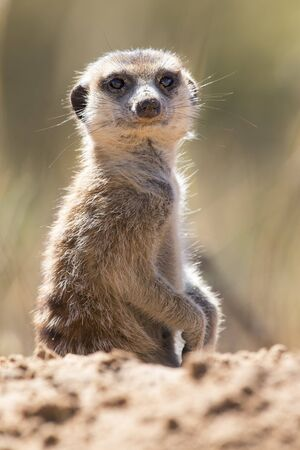 Suricate peeks from the safety of its den in the sandy soil of the Kalahari