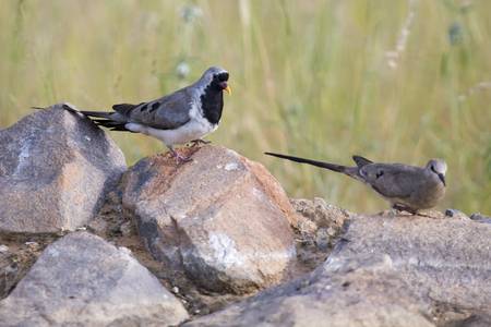 Namaqua dove male and female sitting on rocks in nature