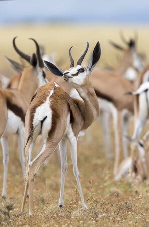 Close-up on a springbok standing in a herd looking back