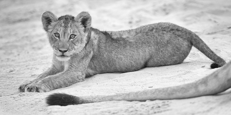 Small lion cub lay down to rest on soft Kalahari sand and play with its mother's tail