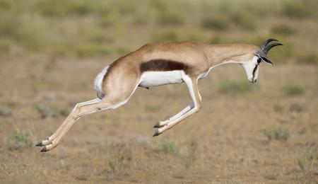 若いスプリングボック男性跳ね、カラハリの平野の幸せ 写真素材