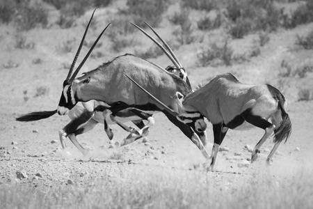 Group of Oryx fight for dominance in the hot Kalahari sun artistic conversion Stock Photo