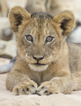 Close-up of a small lion cub lay down to rest on the soft Kalahari sand Reklamní fotografie