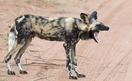 Lone African wild dog hunting calling to its mates