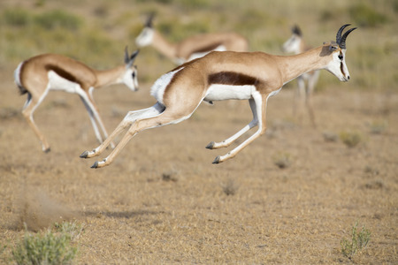 Kgalagadi에서 평원에 행복하게 pascing Springbok 무리