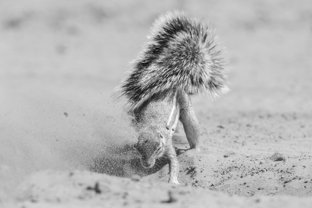 One ground squirrel looking for food in the dry Kalahari sand artistic conversion