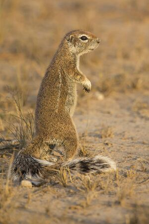 One Ground Squirrel looking for food in the dry Kalahari sand