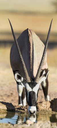 Lone Oryx drinking water from a pool in the hot Kalahari sun