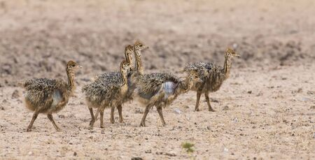 ostrich chick: Family of ostrich chicks running after their parents in the dry Kalahari sun