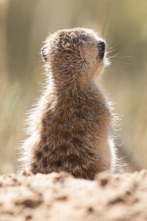 suelo arenoso: Suricate peeks from the safety of its den in the sandy soil of the Kalahari