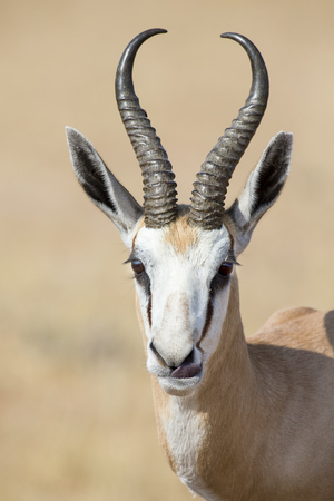 Portrait close-up of a beautiful prime horned springbok male