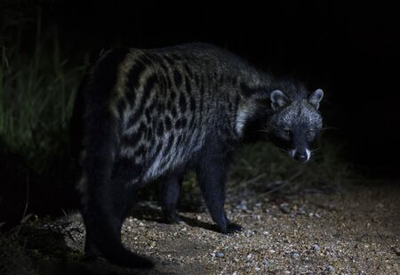 Close-up of a Civet Cat in a spotlight at night time