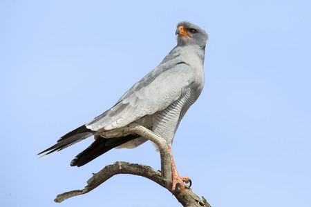 Male Pale Chanting Goshawk sitting in a tree against the blue Kalahari sky