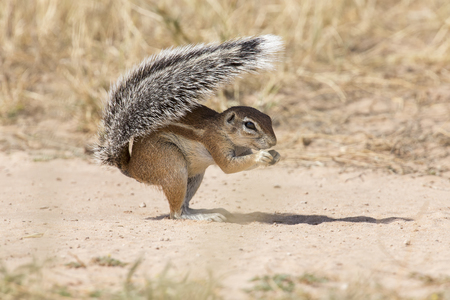 カラハリ砂漠の熱い太陽の下での盾としてその尾を使用して 1 つの地上リス