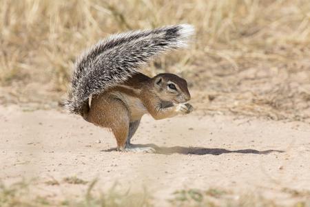 Ein Grundeichhörnchen, das seinen Schwanz als Schild in der heißen Kalahari-Sonne verwendet Standard-Bild