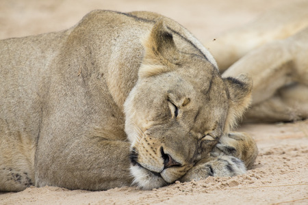 Close-up of a lioness lying down to sleep on the soft Kalahari sand Stok Fotoğraf