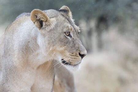 Close-up of a lioness in soft Kalahari rain looking for some shelter