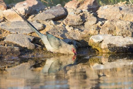 Red Faced Mouse Bird drinking water at a waterhole in the Kalahari Stock Photo