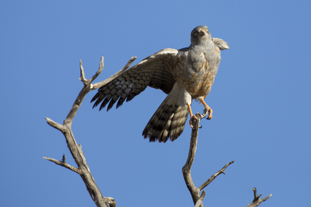 Male Pale Chanting Goshawk jumping in a tree against the blue Kalahari sky