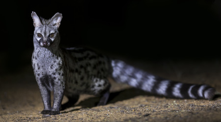 Genet photographed at night using a spotlight sitting and waiting for food Stock Photo