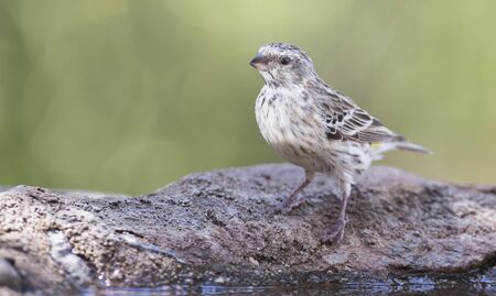 Black Throated Canary female sitting on a rock in the shade Stock Photo