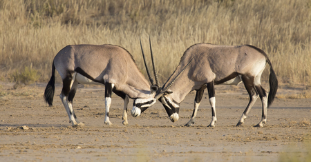 Two Oryx fight for dominance in the hot Kalahari