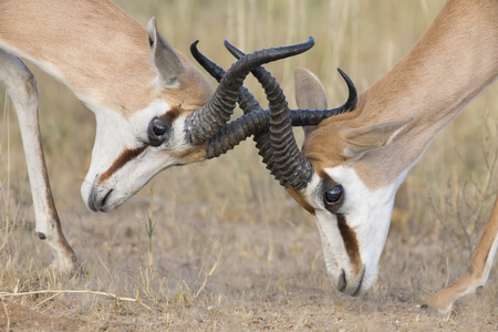 The young springbok males practice sparring for dominance in short grass