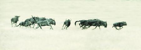 Herd of Springbok running on a plain in the Kalahari artistic conversion Stock Photo